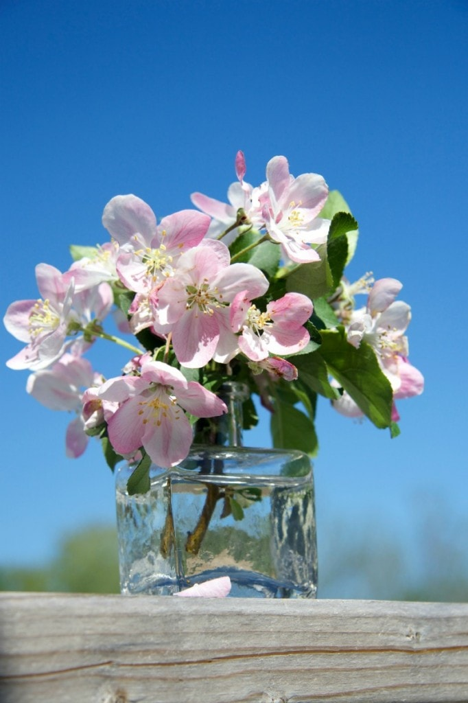 apple blossoms by The Culinary Chase