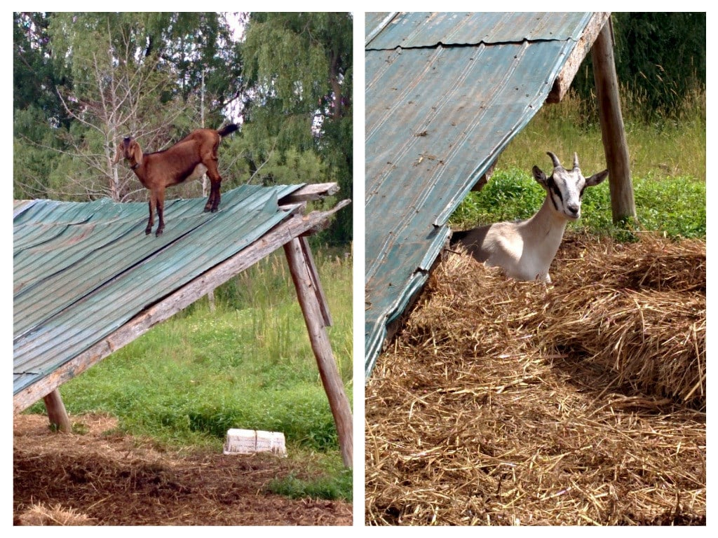 TapRoot goats